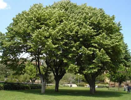 Árboles grandes