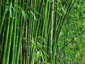 Bambu africano