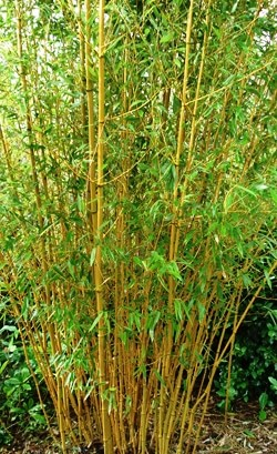 Bambu plumoso