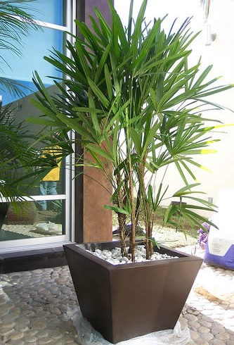 Palma raphis
