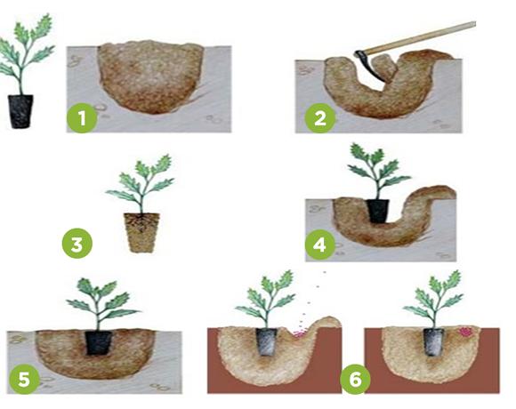 ¿Cómo trasplantar un Árbol?